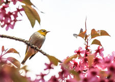 White-eye bird on twig of pink cherry blossom Stock Images