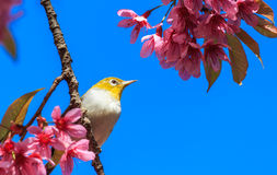 White-eye bird on twig of pink cherry blossom Royalty Free Stock Photography