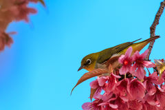 White-eye bird on twig of pink cherry blossom Stock Photo