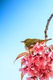 White-eye bird on twig of pink cherry blossom Stock Photo