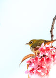 White-eye bird on twig of pink cherry blossom Royalty Free Stock Image
