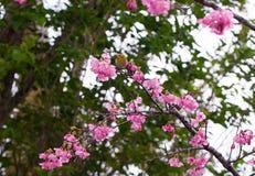 White eye branch. Japanese white eye bird perched on a cherry blossom tree stock image