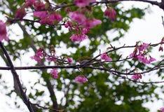 White eye cherry. Japanese white eye bird on a cherry blossom tree stock image