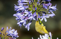 White-eye feeding on agapanthus Royalty Free Stock Photo