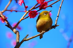 White-eye. It is a Japanese white-eye that stopped in plum stock photos