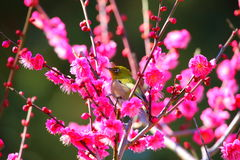 White-eye. It is a Japanese white-eye that stopped in plum royalty free stock photography