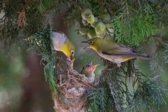 White-eye parents feeding Stock Photo