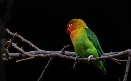 White eye-ringed lovebird parrot Stock Photography