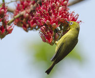 White-eye about to eat. A white-eye bird about to eat nectar from some bright red flowers Royalty Free Stock Image