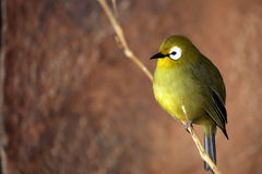 White-Eye Zosterop Royalty Free Stock Photo