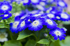 White eyed blue flowers. Lot of bright blue flowers with white center bloomed together Stock Images