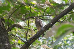 White-eyed Buzzard Raptor. White-eyed Buzzard Butastur teesa Raptor perching on the branch of teak tree in the Forest of India royalty free stock photography