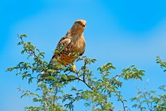 White-eyed greater kestrel, Falco rupicoloides, sitting on the tree branch with blue sky, Moremi, Okavango delta, Botswana, Afric. A. Birds of prey in the nature royalty free stock photos