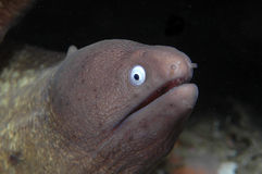 White-eyed Moray. This portrait of a white-eyed moray eel was taken while diving in Indonesia. They have a purplish gray head and a distinctive white iris. These stock image