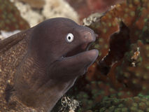 White eyed moray Stock Photography