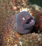 White eyed moray eel. Looking at the camera Stock Image