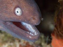 White-eyed moray eel. Close-up of a white-eyed moray eel, Gymnothorax thyrsoideus, formerly Siderea thyrsoidea. Alor Archipelago, Lesser Sunda Islands, Indonesia stock image