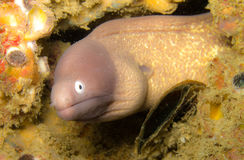 White eyed moray eel Royalty Free Stock Photo