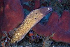 White-eyed moray eel Royalty Free Stock Photography