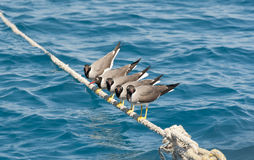 White-eyed seagulls perched on rope Royalty Free Stock Images