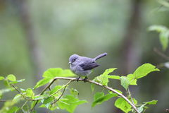 White-eyed Slaty-flycatcher Stock Image