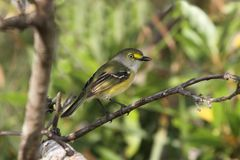 White-eyed Vireo (griseus) Royalty Free Stock Photography