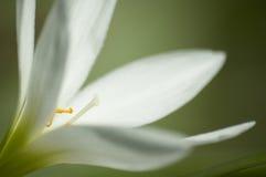 white för 2 blomma Arkivfoto
