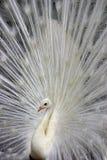 white för 2 påfågel arkivbild