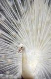 white för 3 påfågel Royaltyfri Fotografi
