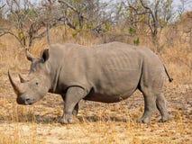 white för africa noshörning söder Royaltyfria Foton