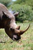 white för africa noshörning söder Royaltyfri Bild
