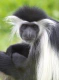 white för africa svart colobuskenya apa Royaltyfri Foto
