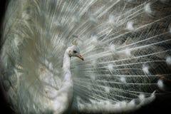 white för albinospåfågelband Royaltyfri Fotografi