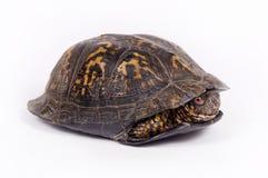 white för bakgrundsasksköldpadda Royaltyfria Bilder