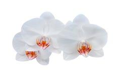 white för bakgrundsblommaorchid royaltyfria foton
