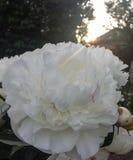 white för bakgrundsblommapion Arkivfoton