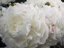 white för bakgrundsblommapion Royaltyfri Fotografi