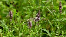 white för bakgrundsfjärilsgräs