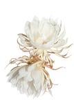 white för bakgrundsjalapamirabilis Arkivfoton