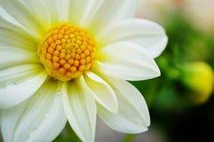 white för blomma en Arkivfoton