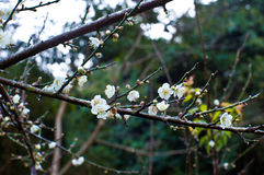 white för blommamumeprunus Arkivbild