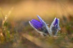 white för blommaskogfjäder Natur - äng och solnedgång Säsongsbetonat begrepp för vår Beautifully blomstra den pasqueblomman och s royaltyfri bild
