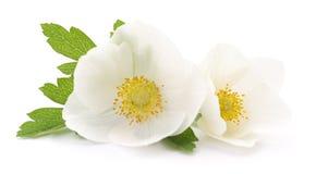 white för blommor två Royaltyfri Bild
