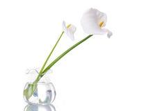 white för callas två Arkivbild