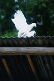 white för duvor två Royaltyfria Bilder
