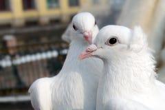 white för duvor två Arkivfoto
