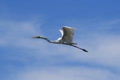 white för egretflyg utmärkt Royaltyfria Bilder