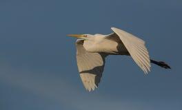 white för egretflyg utmärkt Royaltyfri Fotografi