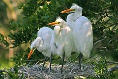 white för fågelungeegret utmärkt arkivbilder