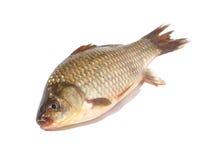 white för fisk för bakgrundscarp crucian Arkivbilder